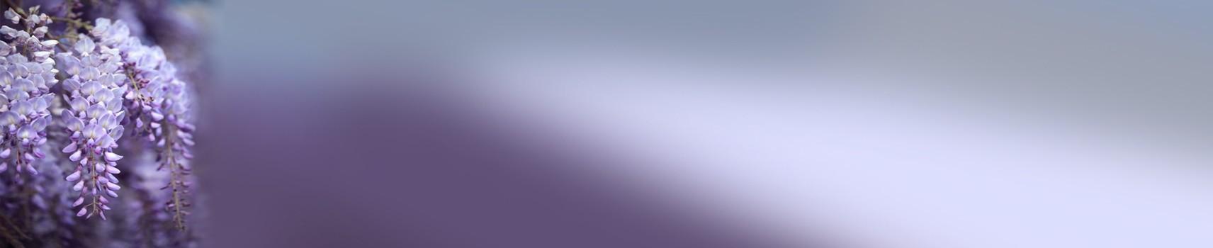פרח ויסטריה